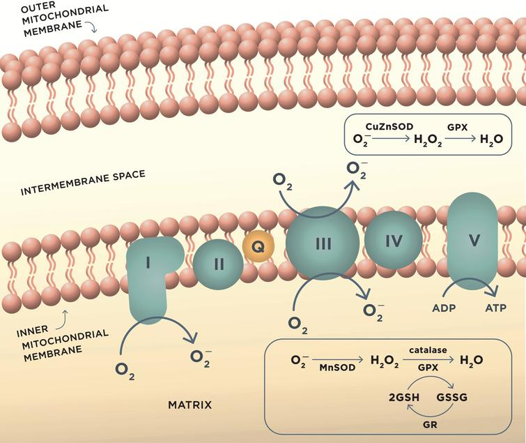 ROS production in mitochondria during oxidative phosphorylation and antioxidant mechanisms. Complex I and complex III of the mitochondrial electron transport chain are the major sites of superoxide anion (O2–) production during aerobic respiration. O2– is converted to H2O2 by MnSOD or CuZnSOD in the intermembrane mitochondrial space. H2O2 is further reduced to water by detoxifying enzymes glutathione peroxidase (GPX) or catalase. GPX uses reduced glutathione (GSH) as the reductant, and the resulting oxidized glutathione reacts with another glutathione molecule to form glutathione disulfide (GSSG), which is restored to GSH by the enzyme glutathione reductase (GR). These reactions occur in mitochondrial matrix.