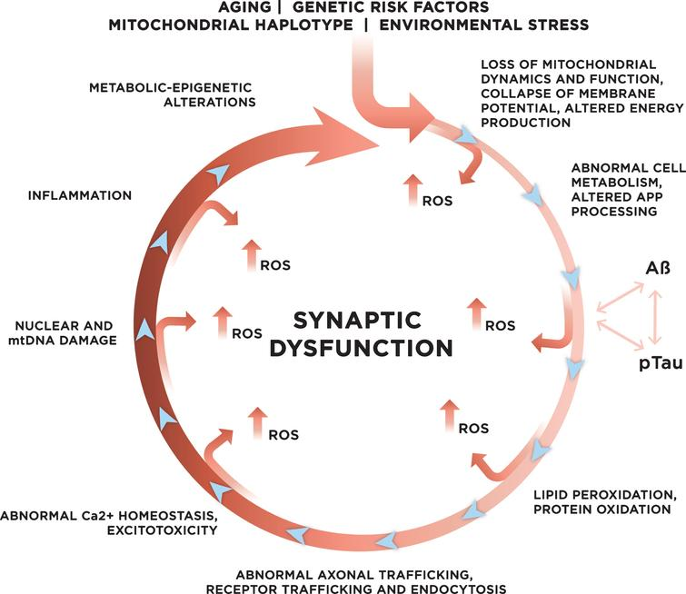 Genetic and environmental risk factors contribute to the development of late onset sporadic AD. With age, increased mitochondrial dysfunction and ROS production could initiate a vicious cycle where multiple systems and mechanisms affected by ROS exacerbate ROS production, accelerating cellular damage, and leading to synaptic dysfunction.