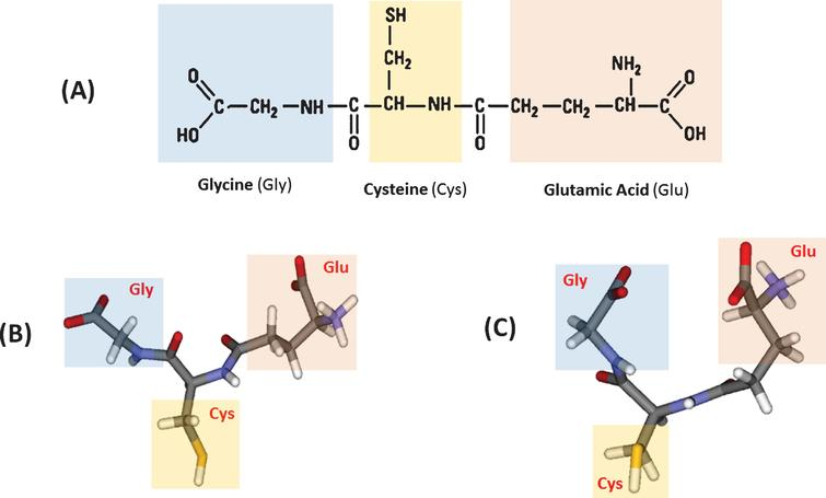 Glutathione and its structural conformations. (A) Molecular structure of glutathione, (B) the extended, and (C) the folded conformations (modified from [4]; copyright permission obtained from the publisher).