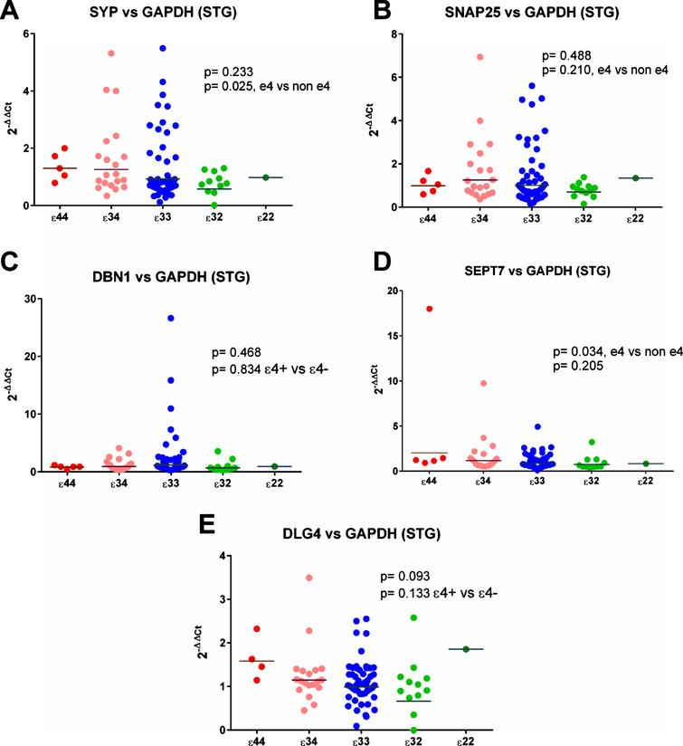 Results from the gene expression study in the superior temporal gyrus (STG) with GAPDH used as the reference gene. As can be seen in (A) and (D) there was a suggestion that expression of SYP and SEPT7 was increased in ɛ4 carriers but there was no evidence of any other differences between the APOE genotype groups.