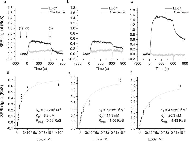 Binding studies performed by SPRi. The SPRi-chip was functionalized with Aβ40 (t=0 days) (a, d); Aβ42 (t=0 days) (b, e); and Aβ42 (t=24 days) (c, f). All the Aβ peptides were immobilized in replicate (n=8) on the same SPRi chip at the same concentration (20 μM). SPRi reference-corrected responses related to LL-37 (10 μM) (black) and ovalbumin (10 μM) (gray) (negative control) flowed on the SPRi-chip functionalized with different Aβ forms (a, b, c). The three SPRi sensograms show the injection of running buffer (baseline) (1), the injection of the analyte (association phase) (2), and the subsequent injection of buffer (dissociation phase) (3). Calibration curve of LL-37 flowed onto different Aβ forms immobilized on the SPRi-chip Aβ40 (t=0 days, d) Aβ42 (t=0 days, e), Aβ42 (t=24 days, f). The equilibrium binding constants (KA and KD) values were calculated using a nonlinear curve fit of the SPRi response at equilibrium (see Supplementary Figure 2).
