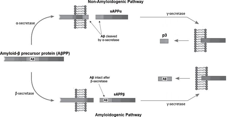 The generation of products from the amyloid-β protein precursor (AβPP). During periods of central nervous system (CNS) energy adequacy, AβPP will get cleaved along a non-amyloidogenic pathway by the action of α-secretase to produce sAβPPα, which, after the action of γ-secretase, produces p3 peptides which have an ability to exit the CNS through the blood-brain barrier (BBB). During periods of CNS energy inadequacy, AβPP gets cleaved along an amyloidogenic pathway by the action of β-secretase to product sAβPPβ, which, after the action of γ-secretase, produces intact amyloid-β (Aβ) peptides that cannot effectively exit the CNS through the BBB, and are associated with the pathogenesis of Alzheimer's disease. Adapted from [32] (CC BY 4.0).
