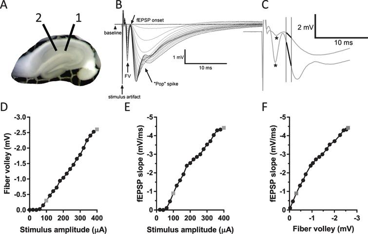 """Measurement of several parameters of response in CA1 area elicited by stimulation of Schaffer collaterals. A) A photograph of an interface slice preparation, depicting placement of stimulating (1) and recording electrode (2). B) Example of typical responses evoked in CA1 area to a series of stimuli with increasing stimulus intensities. Note a clearly distinguishable fiber volley, fEPSP onset, and a """"pop"""" spike that appears at larger stimulus intensities. C) Two enlarged traces from (B) showing responses to stimuli of 100 and 400μA. Asterisks depict peaks of fiber volleys (FV). FV amplitude was defined as a difference between the peaks and baseline for each trace. fEPSP slope was measured as a slope of the initial linear portion of the fEPSP (depicted as bold lines). D) Graph depicting measurements of FV amplitude versus stimulus amplitude from the data traces shown in (B). E) Graph depicting measurements of fEPSP slope versus stimulus amplitude from the data shown in (B). F) Graph depicting measurements of fEPSP slope versus FV amplitude from the data shown in (B). Points rendered as gray symbols in (D), (E), and (F) represent measurements of the enlarged traces in (C)."""