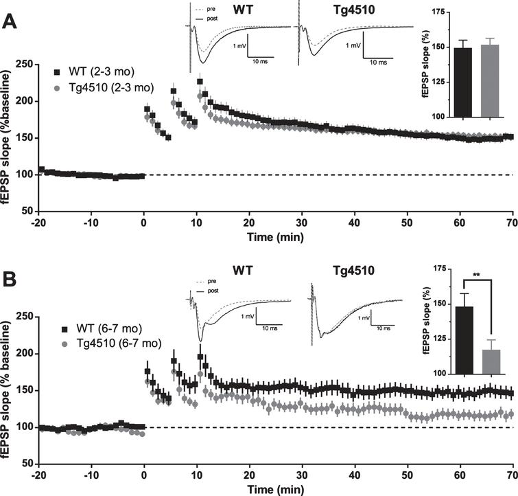 Long-term potentiation (LTP) in rTg4510 mice. A) Average baseline-normalized time course of long term potentiation of fEPSP slope in response to high frequency stimulation in 2-3-month-old rTg4510 mice. Example traces represent averaged responses (4 traces) before HFS and at 60min post last HFS bout. (Inset). Averaged normalized response from the last 5min of recordings (WT n=29 slices from 9 animals; rTg4510 n=29 slices from 9 animals; two-tailed t-test p=0.7527). B) Average baseline-normalized time course of long term potentiation of fEPSP slope in response to high frequency stimulation in 6-7-month-old rTg4510 mice. Example traces represent averaged responses (4 traces) before HFS and at 60min post last HFS bout. (Inset). Averaged normalized response from the last 5min of recordings (WT n=18 slices from 7 animals; rTg4510 n=13 slices from 7 animals; two-tailed t-test p=0.0199).