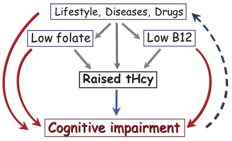 Parallel pathways for causation of cognitive impairment involving homocysteine. Raised tHcy may directly cause cognitive impairment (blue arrow). Many modifiable factors determine tHcy [3, 11]. Some of these factors may directly cause cognitive impairment (red arrows) as well as causing cognitive impairment indirectly by raising tHcy (grey arrows). Reverse causality (dashed line) could also explain the association of Hcy with cognitive impairment.