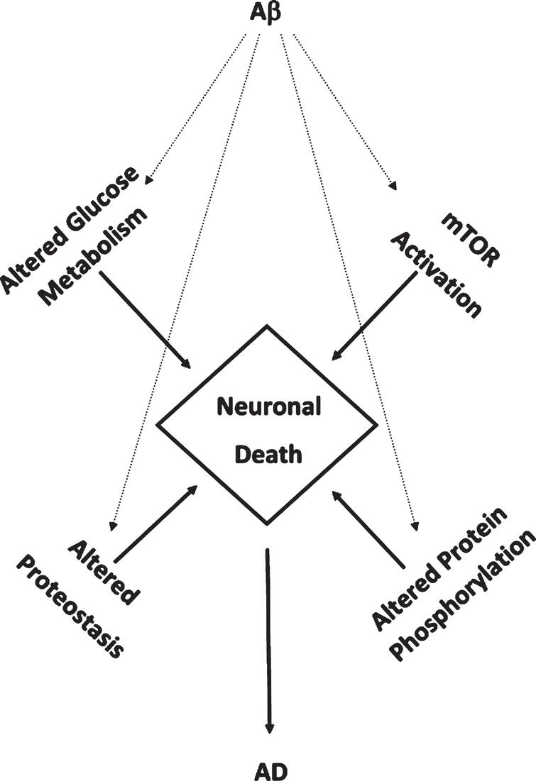 Aβ1-42-mediates accumulated oxidative damage resulting in decreased glucose metabolism, mTOR activation, altered protein homeostasis, and altered protein phosphorylation leading in neuronal death in aMCI and AD brain.