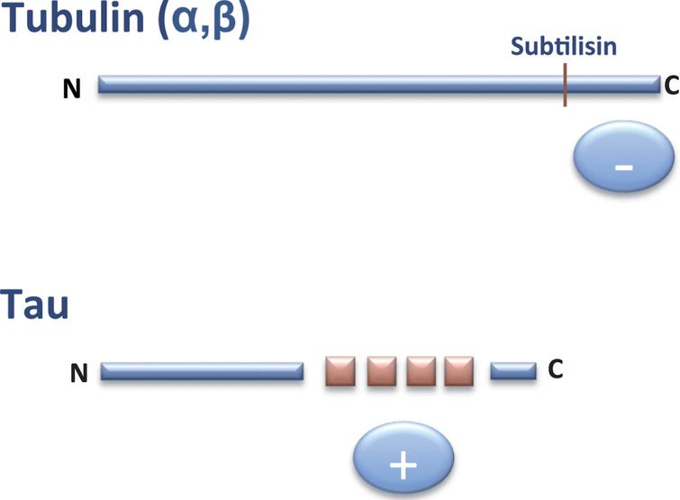 Interaction tubulin-tau. The C-terminal (–, anionic) region of tubulin can bind to the tau (+, cationic) repeats present in the C-terminal half of tau protein.