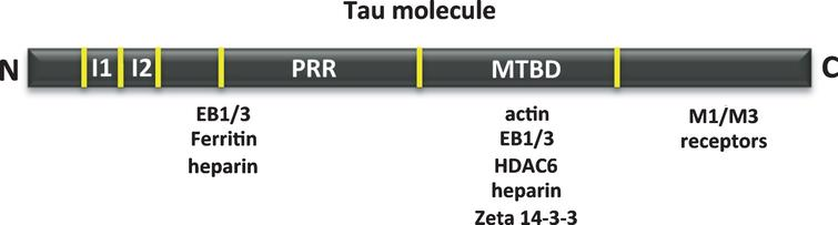 Other tau-associated proteins. Map of the interaction of tau regions with various molecules, such as actin, heparin, muscarinic receptor, zeta 14-3-3 protein, EB1/3 proteins, deacetylase HDAC6 and ferritin.