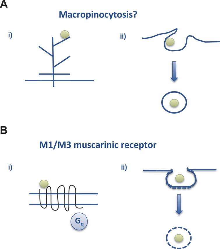 Tau endocytosis. A) Macropinocytosis could be the way by which aggregated tau interacts with neurons to go into the cell whereas (B) soluble tau may interact with the M1/M3 muscarinic receptors present in neurons (see text and [28, 52]).