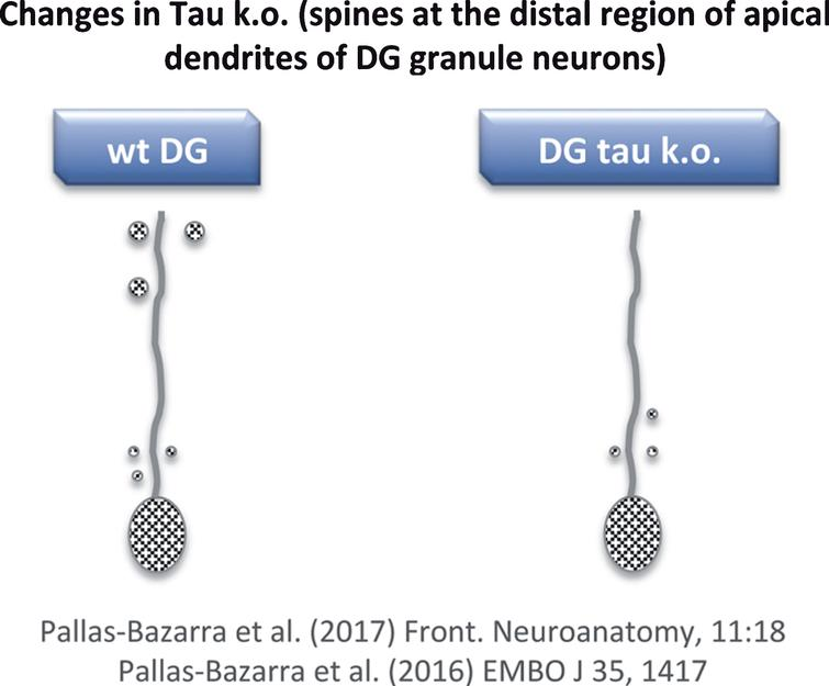 Loss of dendritic spines in some neurons of tau KO mice. Distal regions of apical dendrites of newborn granule neurons from tau KO mice show a decrease in dendritic spines compared to wild-type mice.