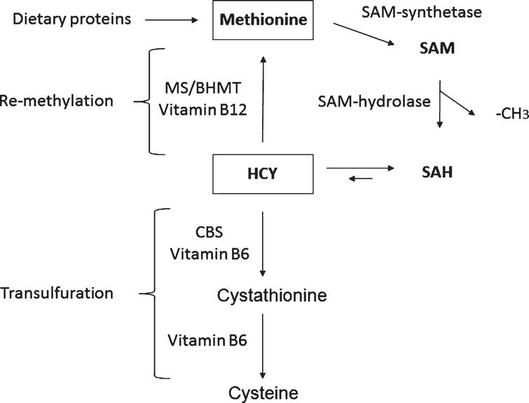 The homocysteine/methionine cycle. S-adenosylmethionine (SAM), S-adenosylhomocysteine (SAH), homocysteine (HCY), methionine synthase (MS), HCY methyltransferase (BHMT), and cystathionine beta-synthase (CBS).