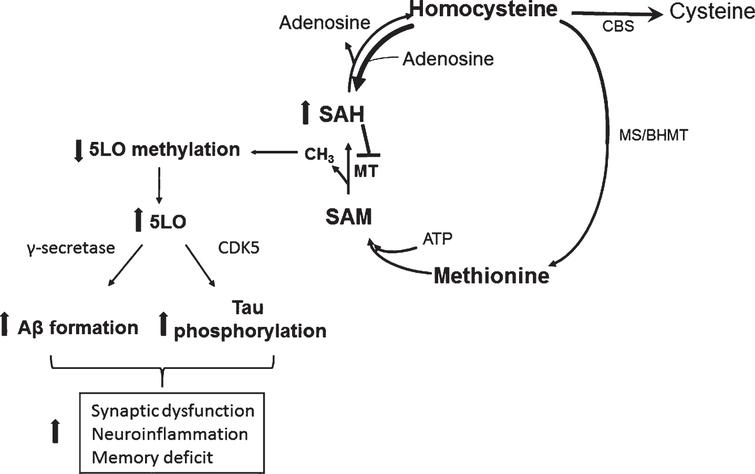 Effect of HHCY on AD pathogenesis through 5LO. In a condition of HHCY the resulting increase in SAH levels reduce 5LO promoter methylation, which then translates in its own activation and higher 5LO gene expression. Higher 5LO levels promote amyloid-β formation and tau phosphorylation through the γ-secretase and CDK5 pathways, respectively. These events ultimately result in synaptic dysfunction and pathology, neuroinflammation and memory deficit.
