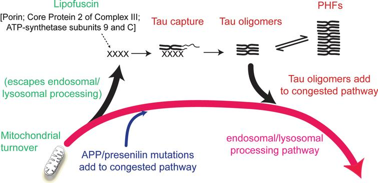 Involvement of the endosomal–lysosomal pathway in removal of aggregated proteins. Congestion of the clearance pathway associated with progressive age-related failure of normal mitochondrial turnover leads to release of products of failed clearance which become seeds for triggering tau aggregation. The resulting tau oligomers add to congestion in the pathway and themselves catalyze further tau aggregation. The tau aggregation cascade proceeds by an autocatalytic process of binding and proteolysis of tau, initiated through its capture of by-products of failed mitochondrial clearance resulting from age-related failure of endosomal–lysosomal processing. Source: From Wischik et al., Biochem Pharmacol 88, 529–539, 2014.