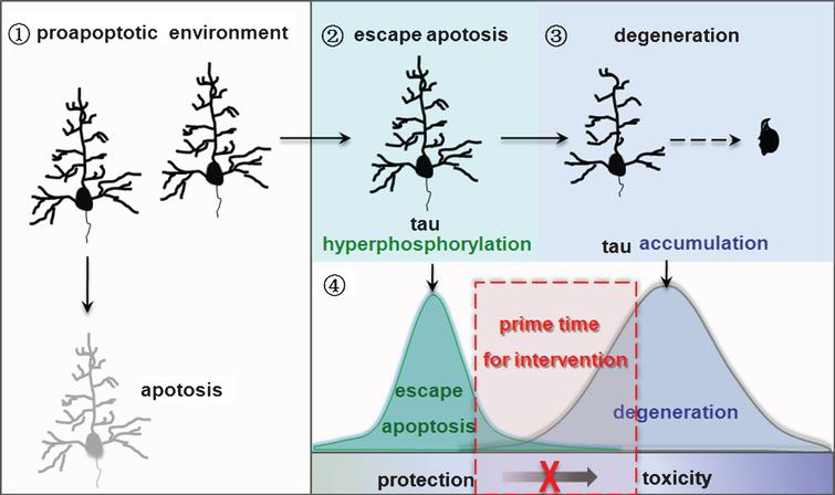 Nature of neurodegeneration and the implication in intervention. ➀Neurons lacking tau hyperphosphorylation enter apoptosis in a pro-apoptotic environment. ➁Tau hyperphosphorylation allows neurons to escape apoptosis. ➂Neurons that escape apoptosis go through degeneration with the increasing accumulation of hyperphosphorylated tau. ➃Targeting tau accumulation may prohibit neurodegeneration in AD and other tauopathies.