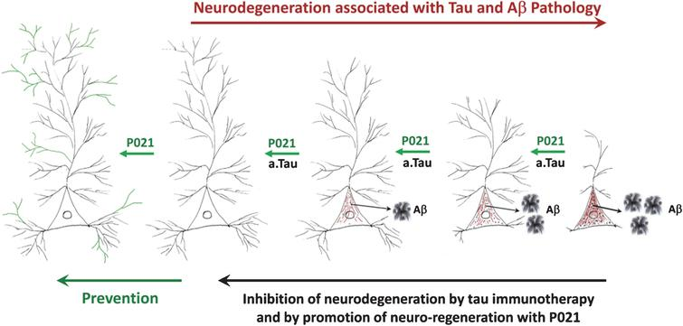 A diagrammatic representation of AD neurofibrillary degeneration and beneficial therapeutic effect of neurotrophic compound P021 and immunization with antibodies to amino-terminal projection domain of tau. Dendrite and synaptic degeneration associated with formation of intraneuronal tau (in red) and Aβ (intraneuronal as black dots and extracellular as plaques) pathologies is a hallmark of AD. Increase in dendritogenesis and synaptogenesis (shown in green) can prevent loss of neuronal connectivity and thereby inhibit tau and Aβ pathologies, especially if the neurotrophic support such as P021is provided before any pathology. Clearance of tau pathology by passive immunization probably rescues neuronal connectivity deficit and consequently prevents Aβ pathology by inhibiting the amyloidogenic processing of AβPP. a.tau, anti tau.