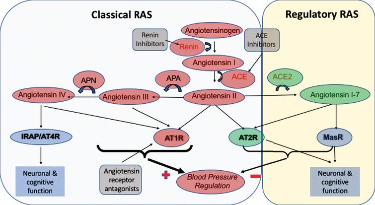 Summary of the RAS system, including the compartmentalization of RAS to illustrate components that are part of the 'Classical' RAS and the 'Regulatory' RAS. The Classical RAS revolves around the production of the vasoconstrictor angiotensin II by angiotensin I-converting enzyme (ACE), and possibly angiotensin III and angiotensin IV by the sequential actions of aminopeptidases-A and -N on angiotensin II and angiotensin III respectively, and resultant signaling through the angiotensin II type I receptor (AT1R). Signaling through AT1R is thought to be the main signaling process in RAS that increases blood pressure (denoted by the heaviest weight arrows). In contrast, stimulation of the angiotensin II type 2 receptor (AT2R), by angiotensin II serves to counteract effects of AT1R. The sites of action of currently licensed drugs, usually used for the treatment of hypertension are also indicated where Renin inhibitors and ACE inhibitors work to reduce the formation of angiotensin II, whereas angiotensin receptor antagonists serve to inhibit the binding of angiotensin II to AT1R and instead promote vasodilatory inducing stimulation of AT2R by angiotensin II. The 'Regulatory RAS' has a similar role to that of AT2R in working to reduce blood pressure, however this is achieved by the activity of angiotensin II converting enzyme 2 (ACE2) on angiotensin II to produce angiotensin1-7 that can also bind AT2R or bind its own Mas receptor (MasR) to reduce blood pressure as indicated by the arrows. Notable but perhaps less well-known functions of the RAS are the effects, as illustrated by various peptides binding to the Insulin Regulated Aminopeptidase receptor (IRAP) (or angiotensin II type IV receptor (AT4R)), AT1R and MasR respectively on neuronal signaling pathways that can contribute to learning and memory.