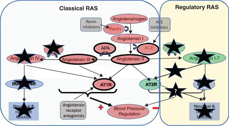 Summary of the observed changes in the RAS system in postmortem AD brain tissue. Changes to various components of the RAS in AD means that the actions of the 'Classical' RAS, involving the production of angiotensins II angiotensin III by the sequential actions of angiotensin II converting enzyme (ACE), and aminopeptidases-A and -N on angiotensin I, that their subsequent activation of the angiotensin II type I receptor (AT1R) to raise blood pressure are largely preserved or elevated (denoted by the heaviest weight arrows and heavier borders of components). In contrast, the changes to preserve the classical RAS in AD do not seem extend to angiotensin IV where pressor signaling via AT1R is reduced but so is the capacity to stimulate neuronal signaling that is important to normal cognitive function. The sites where currently licensed drugs, that could be potentially used for the treatment of AD are also illustrated and noticeably present to sites within the classical pathway that is overactive in AD. Renin inhibitors, work to reduce the activity of the RAS pathway as a whole, whereas ACE inhibitors work to reduce the formation of angiotensin II. The angiotensin receptor antagonists in contrast serve to inhibit the binding of angiotensin II (and other angiotensins to AT1R) to promote vasodilation through the stimulation of AT2R by angiotensin II that is also thought to be involved in cognitive function. Alzheimer's related changes also show a clear down regulation of the 'Regulatory RAS' (denoted by black coloured stars) where the scope to initiate (neuronal) signaling through both AT2R and MasR is reduced, with that likely loss of function that may explain some elements of cognitive decline and that all stem from observed significant reductions in angiotensin II converting enzyme 2 (ACE2) activity seen in AD, and significant elevations (as highlighted with stronger lines) of ANGII and ANGIII and their likely increased signaling through AT1R.