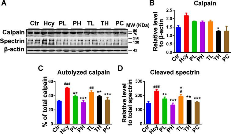 MO treatment attenuated the increase in calpain activity due to HHcy. A) Western blotting of total calpain and its cleaved substrate spectrin. The increased cleaved spectrin as measure of calpain activity was reduced by MO treatments. B-D) Quantification of western blots, calpain was normalized to β-actin and cleaved spectrin to total spectrin. The data were expressed as mean±SD (n = 6). #p < 0.05, # #p < 0.01, # # #p < 0.001 versus control; *p < 0.05, **p < 0.01, ***p < 0.001 versus Hcy.