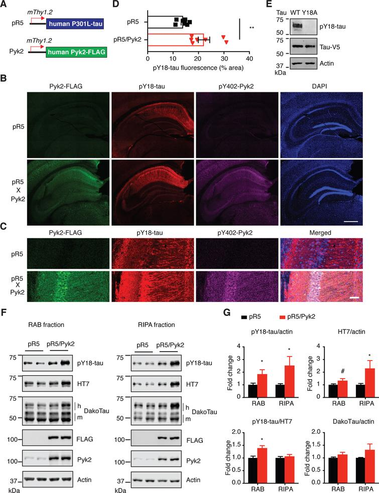 Pyk2 enhances tau pathology in vivo. A) The murine Thy1.2 promoter drives human P301L tau and FLAG-tagged Pyk2 expression in pR5 and Pyk2 transgenic mice, respectively. Representative immunofluorescence staining of brain sections from 12–15-month-old pR5 and double transgenic pR5/Pyk2 animals shown in (B) with magnified view in (C). Scale bars represent 500μm (B) and 50μm (C). D) Quantification of the pY18-tau positive area in the hippocampus of transgenic brains. Mean±s.e.m, n = 7 mice per group, two-tailed t test, **p < 0.01. E) Validation of pY18-tau antibody using immunoblots of a lysate from human tau-expressing HEK cells. WT, wild-type; Y18A, tyrosine to alanine mutant. F) Representative immunoblots of sequentially (RAB/RIPA) fractionated hippocampal homogenates from 12–15-month-old pR5 and pR5/Pyk2 mice. Both pY18-tau and HT7 antibodies react with transgenic human tau but not endogenous mouse tau. 'h' indicates human transgenic tau, and 'm' indicates endogenous murine tau. G) Quantification of immunoblots in (F). Fold changes are relative to the pR5 group. Mean±s.e.m, n = 4–6 mice per group, two-tailed t test, #p = 0.075, *p < 0.05.
