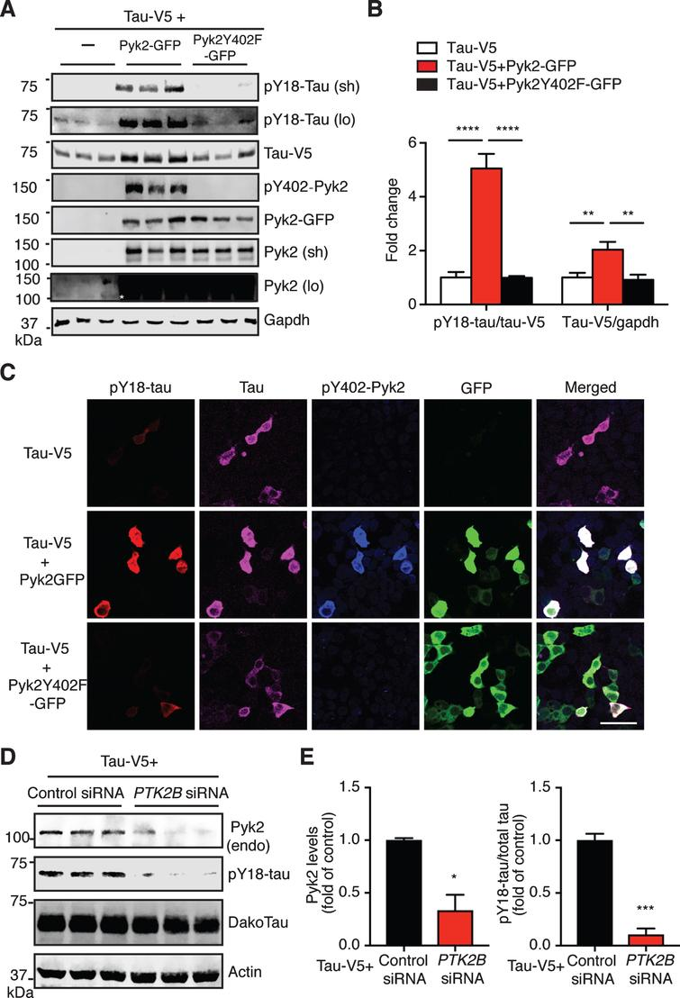 Pyk2 phosphorylates tau in HEK293T cells. A) Representative immunoblots of lysates from HEK293T cells transfected with V5-tagged tau and GFP-tagged Pyk2. Validation of the Y402F mutant form of Pyk2 by immunoblotting using a phospho-Y402-Pyk2 specific antibody. Sh, short exposure; lo, long exposure. Asterisk denotes the endogenous expression of Pyk2 in HEK cells using a longer exposure of the immunoblot in the absence of Pyk2-GFP overexpression. B) Quantification of immunoblots in (A) showing relative tau and pY18-tau levels. Mean±s.e.m, n = 6 per group, one-way ANOVA, Dunnett's multiple comparisons test, **p < 0.01, ****p < 0.0001. C) Representative immunofluorescence staining of HEK293T cells transfected with V5-tagged tau and GFP-tagged Pyk2 indicating a strong positive correlation of pY18-tau immunoreactivity and expression of the active form of Pyk2. Scale bar: 50μm. D) Immunoblots of lysates from HEK293T cells co-transfected with V5-tagged tau and PTK2B or control siRNA. E) Quantification of immunoblots in (D). Mean±s.e.m, n = 3 per group, two-tailed t test, *p < 0.05, ***p < 0.001.