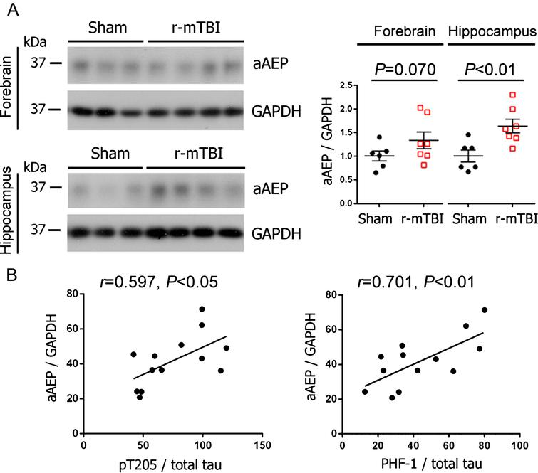 Activation of AEP is increased in the brain and correlated with the level of hyperphosphorylated tau following r-mTBI in 3xTg-AD mice. A) Representative western blots and quantification showing the level of active AEP (aAEP). Data are expressed as scattered dot plots with mean±SEM (n = 6-7 mice/group) and analyzed with unpaired Student t test. B) Pearson correlation of aAEP level to the level of indicated phospho-tau in the hippocampus.