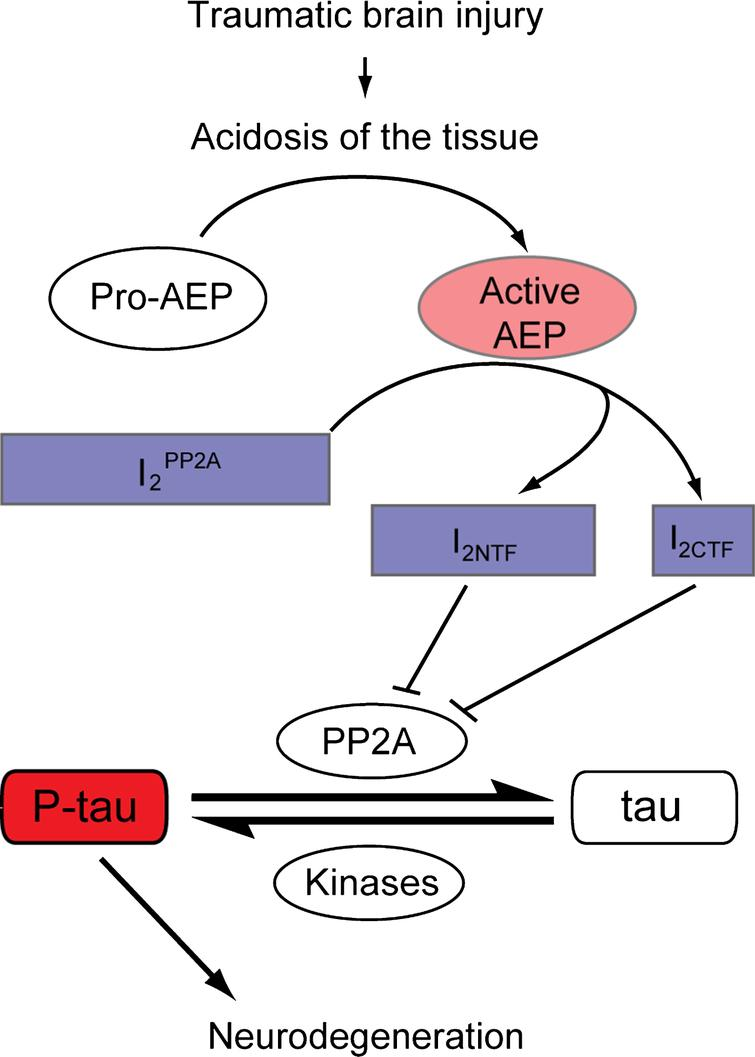 Proposed model demonstrating the involvement of AEP activation in tau hyperphosphorylation in TBI. TBI induces acidosis of the brain tissue, which increases the level of active AEP and its translocation from neuronal lysosomes to the cytoplasm and the nucleus. Active AEP cleaves I2PP2A into amino- and carboxy-terminal fragments [38], both of which are translocated to the cytoplasm and inhibit PP2A activity [36], leading to hyperphosphorylation of tau. I2PP2A, inhibitor 2 of protein phosphatase 2A; I2NTF, amino-terminal fragment of I2PP2A; I2CTF, carboxy-terminal fragment of I2PP2A; P-tau, hyperphosphorylated tau.