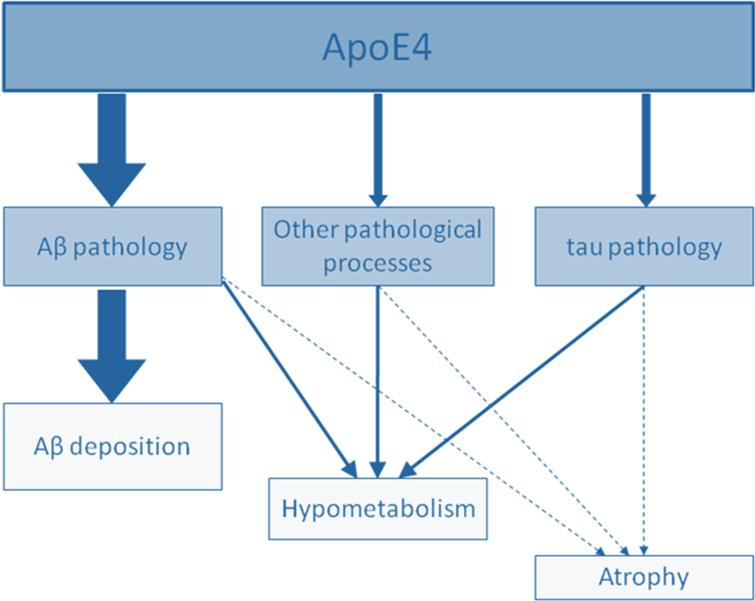 Schematic representation of the graded effect of APOE4 on structural MRI (atrophy), FDG-PET (metabolism), and molecular (Aβ deposition) cortical changes. APOE4 effects clearly predominate on Aβ deposition (thick arrows), while the effects are more modest on cortical metabolism and volume (thin arrows). This figure also illustrates that APOE4 operates through both Aβ-dependent and Aβ-independent processes. From [31].