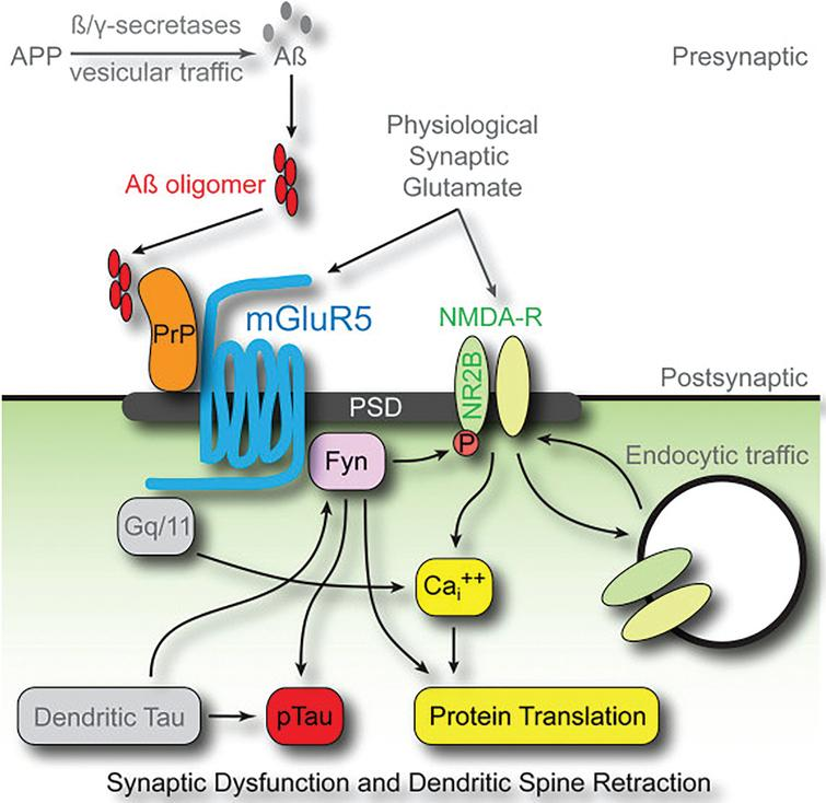 "PrPc mediates AβO toxicity through mGluR5, Fyn kinase, and NMDARs. Downstream consequences of the pathway include calcium dyshomeostasis, tau hyperphosphorylation, and synaptic dysfunction and loss. Reprinted from ""Fyn kinase inhibition as a novel therapy for Alzheimer's disease"" by Nygaard HB, van Dyck CH, and Strittmater SM. This was published in Alzheimers Res Ther, 2014, 6(1): 8, under the terms of the Creative Commons Attribution License (CC BY) [227]."