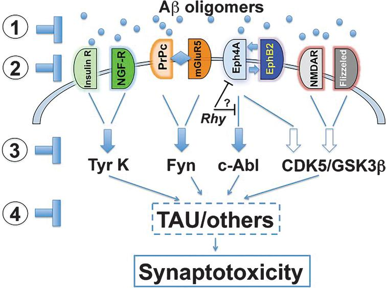 "Putative therapeutic targets of the AβO pathogenic cascade. Including: 1) AβOs themselves; 2) AβO receptors; 3) signaling pathways; or 4) downstream effectors such as tau. Reprinted with permission of PNAS from ""Toward a unified therapeutics approach targeting putative amyloid-beta oligomer receptors"" by Overk CR and Masliah E. This was published in Proc Natl Acad Sci U S A, 2014, 111(38): 13680-13681 [392]."