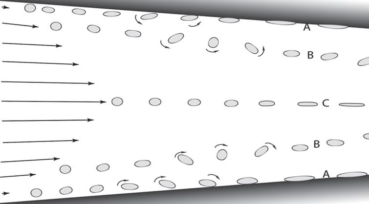 Symbolic examples of three different effects of shear in a cross section of a narrowing flow path that generates both laminar and extensional shear, e.g., between two neighboring neuron surfaces (shaded black regions). Laminar shear is generated by diminishing differences in flow rates as one moves perpendicular to the wall surface. Molecules closest to the surface experience two forces, stretching and rotation. The latter forces a stretched end of the neighboring molecule to forcibly collide with and adhere to the wall (A), depending on the flow rate and geometry of the flow channel. Those molecules near the wall that are far enough away from the wall that they cannot collide with the wall freely tumble (B) while also oscillating in length, depending on their flexibility. Molecules in the center region have negligible laminar shear. However, as the distance between the flow-confining walls narrows, extensional shear is generated, as shown by the steadily lengthening and narrowing of the molecules shown in the figure. Left arrows represent liquid flow rates and molecular symbols represent stroboscopic freeze frames as a function of flow and time. Note the anticipated migration of B molecules away from the walls and toward the center axis because shear-stressed molecules tend to preferentially migrate from regions of high shear stress toward regions of lower stress [63].