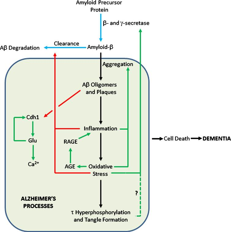 Feedback Loops in the Amyloid Cascade. Blue arrows show pathways in healthy cells; black arrows show AD pathways; pathways activated in AD are in green; pathways inhibited in AD are in red. The dashed line shows a tentative connection from hyperphosphorylated τ to increased AβPP processing to Aβ.