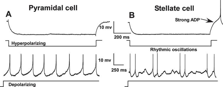 Electrophysiological differences between pyramidal (A) and stellate cells (B) in the medial entorhinal cortex (MEC). In contrast to pyramidal cells, stellate and other non-pyramidal cells exhibit a pronounced afterdepolarization (ADP) following repolarization from a hyperpolarizing pulse and show rhythmic oscillations during sustained depolarization. Neuronal types were distinguished using these characteristics and only pyramidal-like cells were included in this study. (Note: action potentials have been truncated).