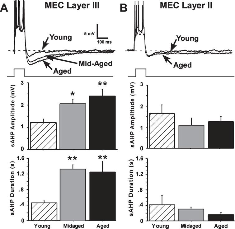 The slow afterhyperpolarization (sAHP) is altered by aging only in layer III. A) Representative examples and age-group means of sAHPs measured in layer III of the MEC. Significant age differences in slow AHP amplitude and duration were found for layer III neurons, with sAHPs in aged (21 months old) and mid-aged (10 months old) animals increased compared to sAHPs in young (4 months old) rats. B) Representative examples and age-group means of sAHPs measured in layer II of the MEC. No aging differences were observed in layer II neurons. (Means ± S.E.M. for group values; *p < 0.01; **p < 0.001 ANOVA pLSD significant pairwise contrast versus young).