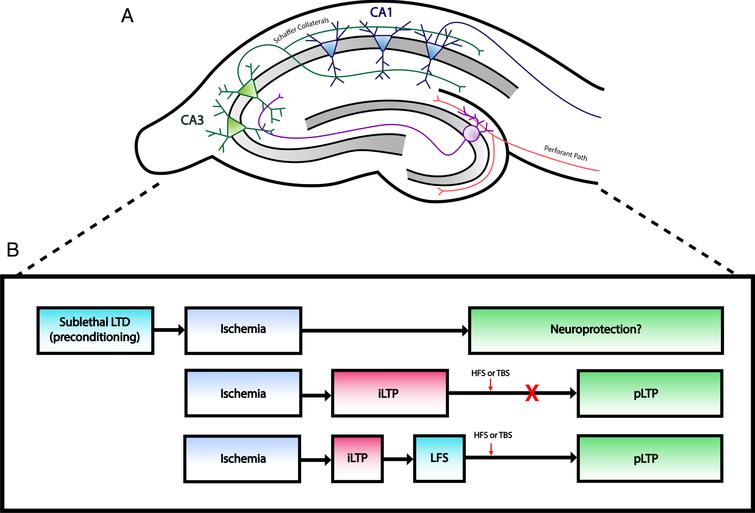 Changes at excitatory synapses after ischemia. A) Simplified illustration of rodent hippocampal slice demonstrating the major excitatory pathways within the hippocampal formation. Perforant path fibers innervate dendrites of granule cells in the dentate gyrus, which project to CA3 neurons via mossy fibers. CA1 neurons receive input from CA3 neurons through Schaffer collaterals. Typical hippocampal field recordings involve electrical stimulation of Schaffer collaterals, which generate EPSPs that can be recorded from CA1 dendrites. B) Outline of long term synaptic plasticity changes after ischemia. Top: Induction of LTD prior to an ischemic insult may act as a neuroprotective intervention against CI as studies have shown decreased neuronal cell death following LTD preconditioning. Middle: Ischemia induces a pathological form of plasticity (iLTP) that prevents physiological LTP (pLTP). Bottom: Low frequency stimulation (LFS) can depotentiate iLTP and allow neurons to express pLTP following HFS or TBS.