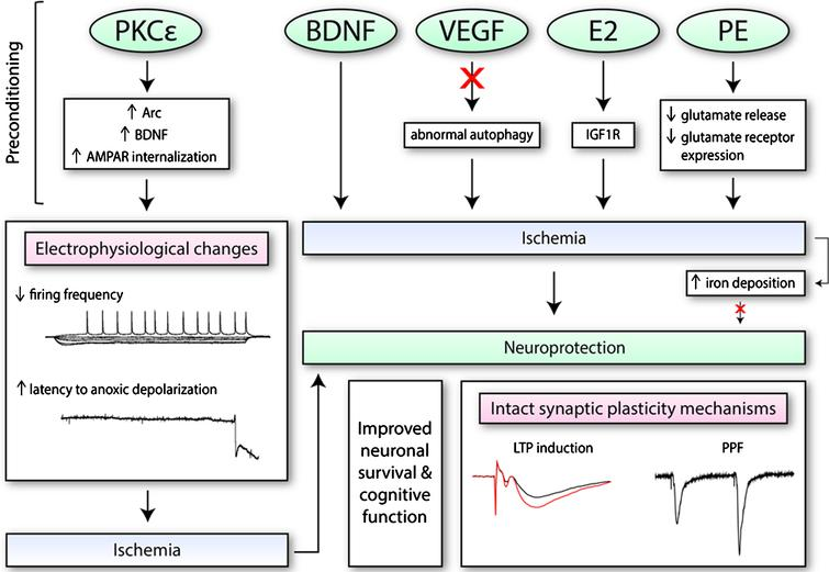 The effects of preconditioning molecules/therapies on electrophysiological function and synaptic plasticity. Numerous pharmacological mimetics of IPC (i.e., PKCɛ; brain-derived neurotrophic factor, BDNF; vascular endothelial growth factor-A, VEGF; and ovarian hormone 17β-oestradiol, E2) induce neuroprotection through different mechanisms. This includes the regulation of certain processes (i.e., autophagy), as well as increased expression of certain proteins or receptors on the synaptic membrane. These changes may alter electrophysiological properties of neurons, as seen with PKCɛ, such as decreasing firing frequency. When exposed to conditions of oxygen and glucose deprivation, PKCɛ may also increase the latency to anoxic depolarization. Preconditioning therapies such as physical exercise (PE) training is also protective. PE along with BDNF, VEGF, and E2 have been found to retain both short-term and long-term synaptic plasticity processes after ischemia. Additionally, since iron accumulates in the cell after ischemia and exacerbates oxidative stress, it has also been a target of interest.
