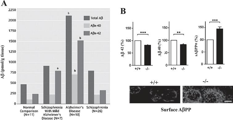 Alteration of Aβ expression in SCZ. A) Mean postmortem levels of total Aβ, Aβx–40, and Aβx–42 in the dorsolateral prefrontal cortex of normal elderly comparison subjects, patients with AD, patients with SCZ only, and patients with SCZ plus mild AD pathology. aSignificantly different from all other groups (Newman-Keuls tests, p<0.01). bSignificantly different from all other groups (Newman-Keuls tests, p<0.001). Reprinted from Religa et al. [11] with permissions. B) AβPP processing is dysregulated in DISC1 locus mutants of 3XTg mice. Loss of DISC1 in homozygous DISC1 locus impairment (– /–) mice leads to alteration of AβPP processing, compared to wild-type (+/+) controls. a–c) Analysis of cortical lysates by ELISA shows increased sAβPPα and decreased Aβ42 and Aβ40 levels in – /– mice. Bars represent the mean±SEM, n=5–6 mice per group. **p<0.01, ***p<0.001. d) Neurons from – /– mice display higher levels of surface AβPP than those from+/+mice. Scale bar, 10μm. Reprinted from Shahani et al. [14] with permission.