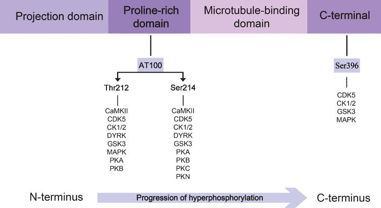 Direction of the progression of tau protein hyperphosphorylation. The proline-rich domain contains the epitope which is recognized by the AT100 antibody, whereas pS396 antibody recognizes the C-terminal region. Specific kinases phosphorylating each residue are illustrated. A blue arrow highlights the sequential tau hyperphosphorylation from the N-terminal to the C-terminal.