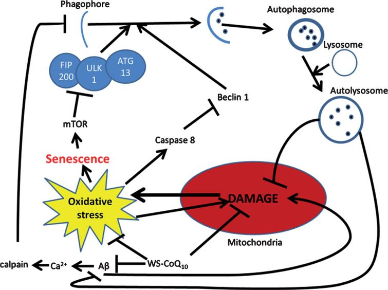 Possible mechanism for autophagic reintroduction by WS-CoQ10 in PS-1 mutated fibroblasts. mTOR is related to the maintenance of cellular senescence as well as the inhibition of autophagy through the induction hyper-phosphorylation of ATG13. Beclin-1 a known inducer of autophagy is degraded by caspase 8 which is activated during times of oxidative stress produced in huge quantities by the damaged mitochondria of PS-1 mutated fibroblasts. Aβ has been seen to lead to mitochondrial damage and can increase the influx of Ca2+ which can activate the antiapoptotic protein calpain. WS-CoQ10 is able to considerably lessen mitochondrial damage and the levels of ROS that lead to oxidative stress. Its possible the reduction of oxidative stress may lead to reduced degradation of beclin-1 via caspase 8 leading to increased autophagy. This may act as a positive feedback loop as the reintroduction of autophagy would allow the degradation of dysfunctional mitochondria and oxidized proteins.