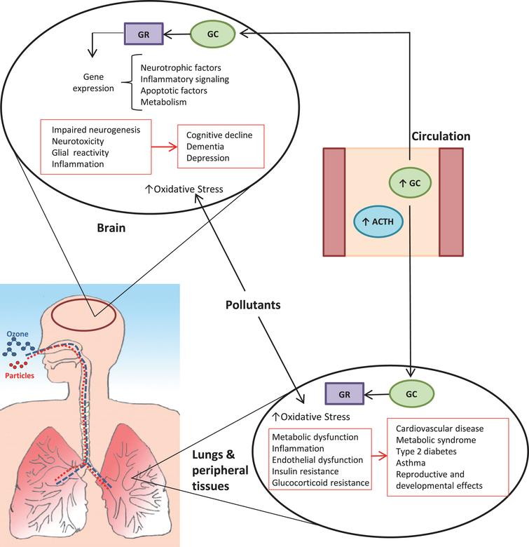 Proposed direct and systemic impacts of pollutant-induced stress axis activation on the brain. Both particulate matter and ozone trigger a stress response, resulting in pituitary release of adrenocorticotrophic hormone (ACTH), which in turn signals the adrenal glands to increase production of glucocorticoids (GC; primarily cortisol in humans, corticosterone in rodents). Glucocorticoids bind to receptors (GR) to regulate processes that include glucose and lipid homeostasis, immune/inflammatory function, and responses to other hormones. The stress hormone release coincides with and contributes to changes in blood mediators (e.g., cytokines, metabolic factors, reactive products) that have systemic impacts, including effects on the brain, lungs, and peripheral tissues. Chronic activation and dysregulation of the HPA axis is associated with a variety of adverse effects that include neurotoxicity, sensitization to other insults including oxidative stress, and impaired control of inflammatory processes. Collectively, these effects interact with individual susceptibility to contribute to disease processes that manifest systemically and in the brain.