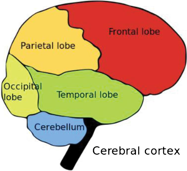 Cerebral cortex showing locations of the occipital, temporal, parietal, and frontal lobes of the cortex [30].