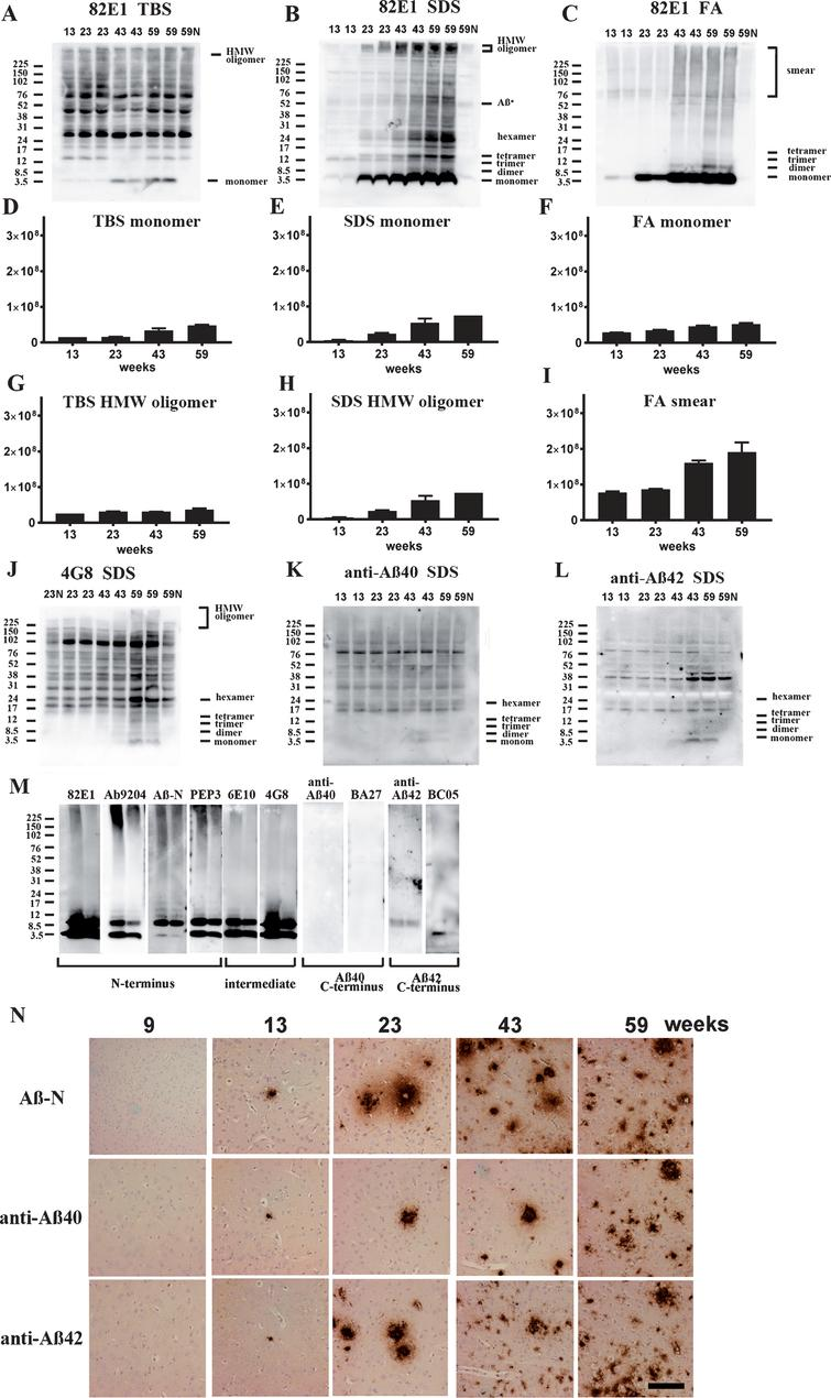 Age-dependent increase of Aβ monomer and Aβ oligomers in brains of TgCRND8 without an oral immunization trial (A–L), antibody epitope mapping of aggregated synthetic Aβ1–42 (M), and immunostaining of TgCRND8 brains without an oral immunization trial (N). D–I are quantification of Aβ monomer in each fraction (D–F), HMW oligomers in TBS and SDS fraction (G, H), and Aβ smear in the FA fraction (I). 59N indicates nontransgenic littermates at 59 weeks. A) In TBS fractions, Aβ monomers were detected by 82E1 from 13 weeks and the amount increased with age (D). Other molecular weight oligomers except HMW oligomers (G) were difficult to detect because of the existence of mouse IgGs. B) In SDS fractions, Aβ monomers and AβOs, including di-, tri-, tetra-, and Aβ*56, and HMW AβOs, were visualized from 13 weeks. Respective species increased with age (E, H). C) In FA fractions, Aβ monomers from 13 weeks, Aβ dimers from 43 weeks, and diffuse smear patterns from 43 weeks were found (F, I). J–L) 4G8, anti-Aβ40, and anti-Aβ42 weakly detected LMW AβOs, but could not detect HMW AβOs. M) HMW AβOs were detected by antibodies against the N-terminus (82E1, Ab9204, Aβ-N, and PEP3), and were weakly detected by antibodies against the mid portion of Aβ (6E10 and 4G8), but were not detected by anti-Aβ42 and BC-05. Anti-C-terminus to Aβ40 (anti-Aβ40 and BA-27) did not detect Aβ1–42. N) Immunostaining of TgCRND8 brains using Aβ-N (1:1000), anti-Aβ40 (1:1000), and anti-Aβ42 (1:400) showed age-dependent Aβ deposition. Aβ burden labeled by anti-Aβ40 and anti-Aβ42 were weaker than those by Aβ-N. Bar represents 100 μm. One mouse at 13 weeks, 2 mice at 23 weeks, 43 weeks, and 59 weeks were used for analysis.