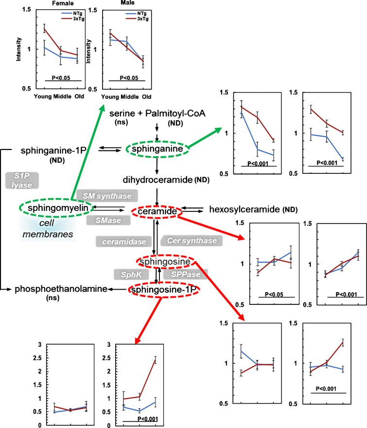 Age-related changes in sphingolipid metabolism of both NTg and 3xTg-AD suggest increased inflammation. Age drove significant declines in sphinganine and sphingomyelin (green ovals and arrows), but elevated the downstream metabolites of sphingolipid metabolism, including ceramide, sphingosine and sphingosine-1P in both NTg and 3xTg-AD female and male samples (red ovals and arrows). ns indicates detection but not significantly affected by age; ND, no detectable.