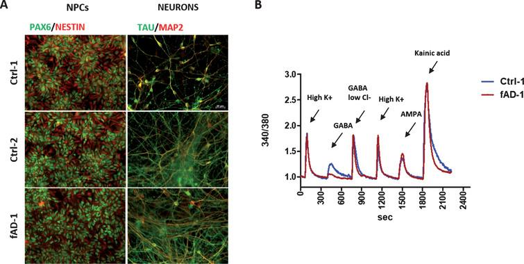 Neuronal differentiation of Ctrl and fAD iPSC-derived neural progenitors, NPCs. A) Representative immunocytochemical analyses showing the differentiation of NPCs, expressing the specific markers PAX6 in nuclei (green) and NESTIN cytoplasmic intermediate filaments (red), in 6-weeks old neurons, stained with MAP2 (red) and TAU (green); for color images, see the online version. Scale bar 20 μM. B) Calcium intracellular influx recorded from fura-2 loaded 4-weeks old neurons (Ctrl-1 and fAD-1 cell lines) in response to 60 mM KCl, 100 μM GABA in physiological extracellular chloride (GABA), 100 μM GABA in 7.5 mM chloride (GABA in low Cl-), 100 μM AMPA and 100 μM Kainic acid, demonstrating functional expression of voltage gated ion channels, GABA receptors and ionotropic glutamate receptors.