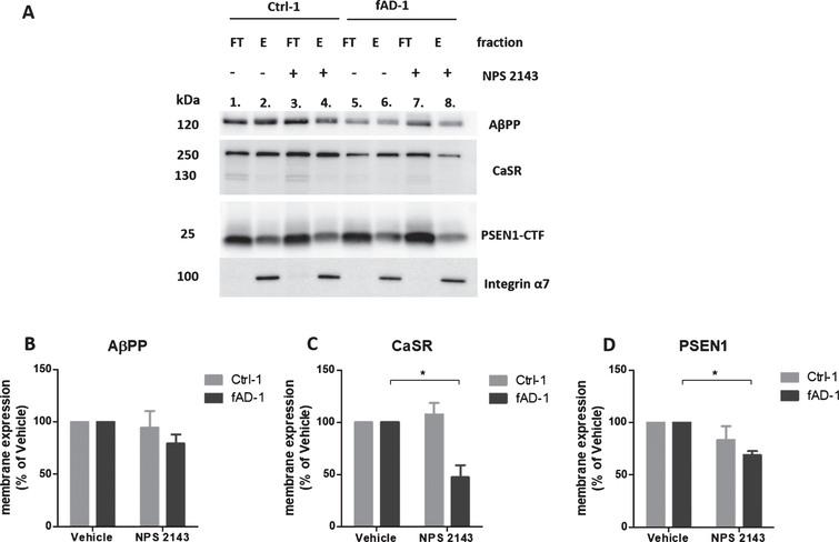 Modulation of AβPP, CaSR, and PSEN1 at the plasma membrane by NPS 2143 treatment. A) Representative western blot bands representing AβPP, CaSR, and PSEN1 present in the intracellular (flow-through fractions, FT) and in the plasma membrane (Eluate, E) fractions of Ctrl-1 and fAD-1 biotinylated samples treated with vehicle (0.1% DMSO) or with 1 μM NPS 2143 for 48 h. The Integrin α7 is a plasma membrane marker and it has been used as a control of the efficiency of biotinylation; After the E fractions bands of (B) AβPP, (C) CaSR, and (D) PSEN1 were normalized to Integrin α7 (only present in the E fractions), the vehicle treated samples were considered as 100%, while NPS 2143 treated samples were presented in the percentage of the vehicle. Two-tailed t-tests were performed. *p<0.05; Error bars=SEM. Western blot measurements were performed as biological triplicates.