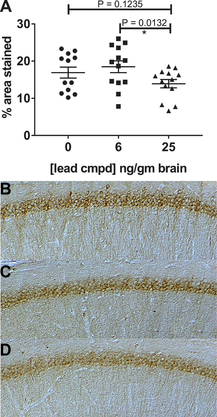 Immunohistochemistry of hippocampal slices of male mice. The mAb MC1, recognizing misfolded pathological tau, was used to stain the hippocampal slices from each mouse. Treated mice with 25 ng compound/g brain had significantly reduced levels of MC1 dependent pathological tau compared to treated mice with 6 ng compound/g brain (A). Representative images of the hippocampal region stained with mAb MC1 are shown for the vehicle control (B) and treatment groups 6 and 25 ng/gm brain (C, D).