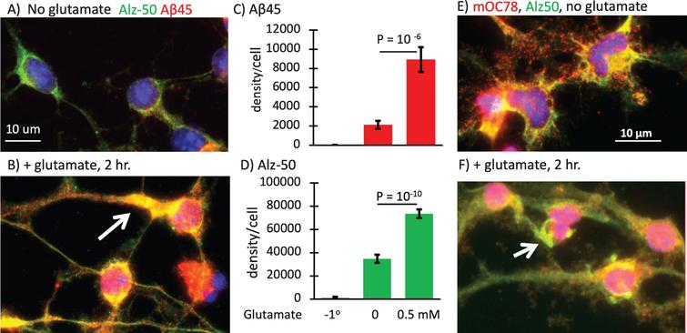 Large increase in Aβ45 and Alz-50 with glutamate with relocalization of Alz-50 tau to dendrites. A) Alz-50 tau in axons and soma (green) with low Aβ45 puncta (red) B) increases with 2 h treatment with 0.5 mM glutamate and moves to dendrites (arrow), with colocalization to anti-Aβ45 puncta in 23-month-old male 3xTg-AD neurons. C) 4-fold increase in Aβ45 with glutamate exceeds D) 2-fold increase in Alz-50. N = 17–35 cells. File 170406. E) 10-month-old female neurons rescaled to show individual mOC78 objects and overlap with Alz-50. F) Increase in mOC78 with glutamate treatment and large objects resembling neurofibrillary tangles (arrow). 10-month-old female 3xTg-AD neurons. File 170726.