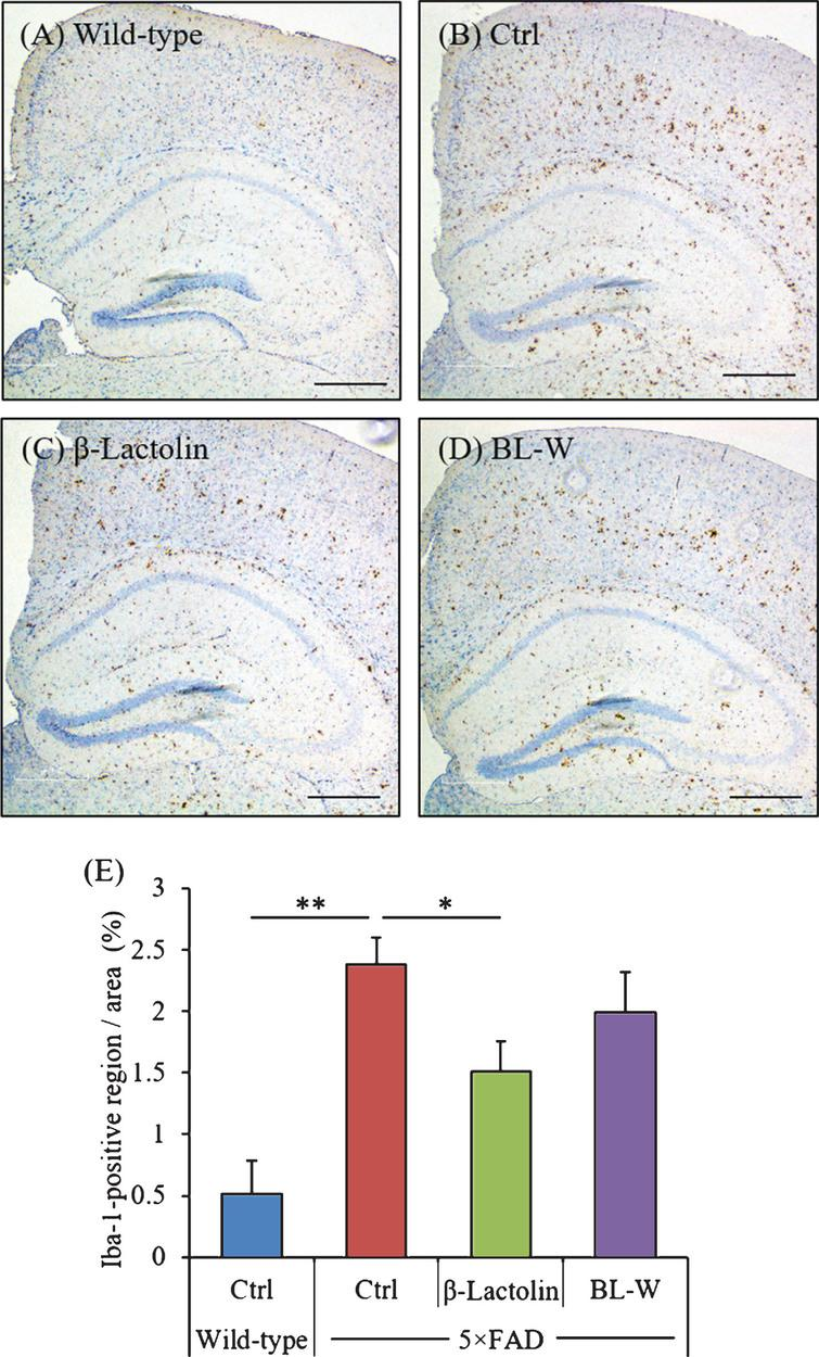 Effects of β-lactolin on microglial infiltration in 5×FAD mice. Transgenic 5×FAD and wild-type male mice aged 2.5 months were fed a diet with or without 0.05% w/w β-lactolin or 5% w/w β-lactolin-rich whey enzymatic digestion (BL-W) for 3.5 months. A-D) Representative immunohistochemistry images for Iba-1 in wild-type mice, transgenic control mice (Ctrl), and transgenic mice fed a diet containing β-lactolin or BL-W. Scale bars, 400μm. E) Percentage of the Iba-1-positive area detected by immunohistochemistry in the cortex in transgenic control mice (Ctrl) and transgenic mice fed a diet containing β-lactolin or BL-W. Data are presented as means±SEM (sample size: wild-type mice, 10; control transgenic mice, 10; transgenic mice fed with β-lactolin, 11; or transgenic mice fed with BL-W, 10). p-values shown in the graph were calculated by one-way ANOVA followed by the Tukey–Kramer test. *p<0.05.
