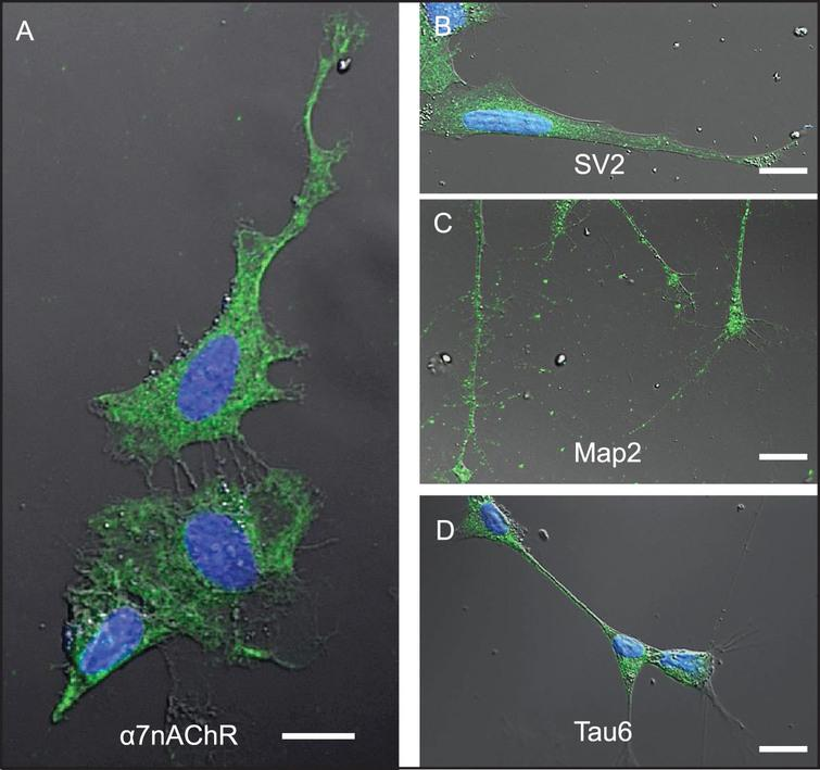 Differentiated SH-SY5Y cells are a useful model system to study mechanisms associated with neuronal Aβ42 internalization. SH-SY5Y cells differentiated by treatment with retinoic acid for 72-h. A-D) Differentiation was confirmed by changes in cell shape, extension of neuritic processes, and detection of robust expression of the following neuronal markers of differentiation using ICC: (A) α7nAChR; (B) synaptic vesicle 2a (SV2); (C) microtubule-associated protein 2 (Map-2); and (D) tau6. Scale bar = 5 μm.