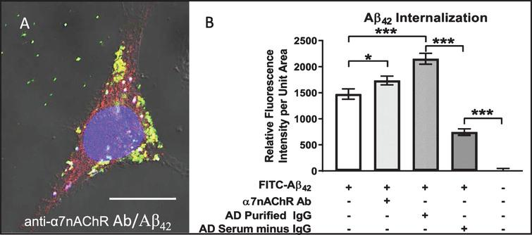 Aβ42 internalization is enhanced by anti-α7nAChR autoantibodies. Differentiated cell treated with 100 nM FITC-labeled (green) Aβ42 for 72 h in medium containing antibody directed against the α7nAChR and visualized using Cy3 (red) secondary antibodies. FITC-Aβ42 internalization was enhanced over that in cells treated with FITC-Aβ42 alone, and nearly all was co-localized with α7nAChR (yellow) either in small dispersed granules or uniform clusters of these granules. A) Cell treated for 72 h in medium containing both FITC-Aβ42 and serum from an AD patient showing extensive FITC-Aβ42 internalization and co-localization with α7nAChR. B) Quantification showing increased Aβ42 internalization in cells treated with anti-α7nAChR antibody over those exposed to FITC-Aβ42 alone. Cells treated with IgG purified from AD serum showed a higher level of FITC-Aβ42 internalization than those treated with anti-α7nAChR. Removal of IgG from AD serum caused a dramatic reduction in Aβ42 internalization. Scale bar = 10 μm. *p < 0.05, ***p < 0.001. AD, Alzheimer's disease serum.