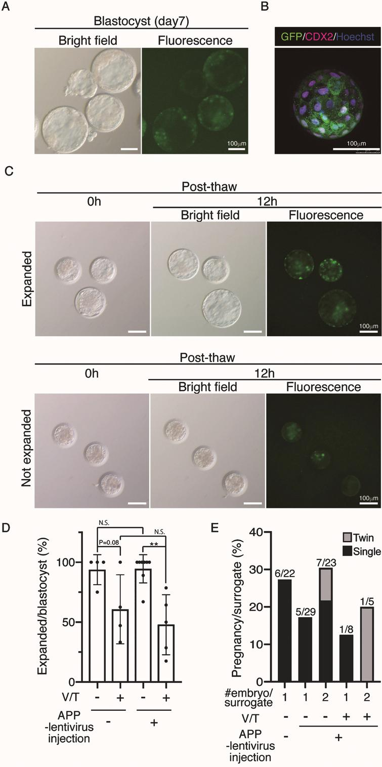 Generation of APP-GFP Tg cynomolgus monkeys. A) Images of cynomolgus monkey blastocysts 7 days after infection with the lentivirus. Scale bars=100 μm. The left panel shows a brightfield image and the right panel shows a fluorescence image. B) Immunohistochemistry of the blastocysts 7 days after infection with anti-CDX2 and GFP antibodies. Scale bars=100 μm. C) Images of vitrified and thawed cynomolgus monkey blastocysts. Upper panels show expanded blastocysts at 12h after thawing. Lower panels show unexpanded blastocysts at the same time. D) Efficiency of recovery rate after vitrification and thawing. E) Implantation rate of WT blastocysts, APP lentivirus-infected blastocyst (one or two embryos per recipient). **p<0.01 between treatments.